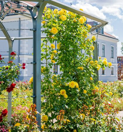 Yellow and red roses trudging along base of arbor in garden