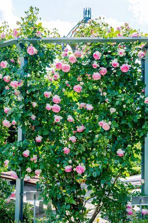 Pink rose Eden climbing along the base of arbor in garden