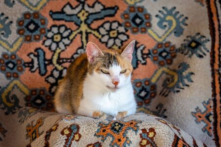 Old tricolor cat with red spot on nose resting on carpet