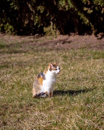 Tricolor cat sits on grass basking in sun