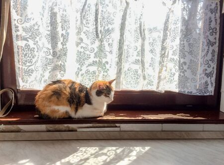 Beautiful tricolor cat basks in sun on old peeling paint windowsill Imagens