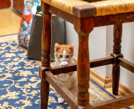 Pretty kitten standing behind stool. Red-white kitten clinging claws over an old wooden stool