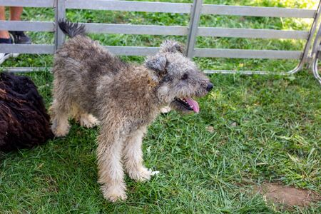 Pumi is medium-small breed of sheep dog from Hungary
