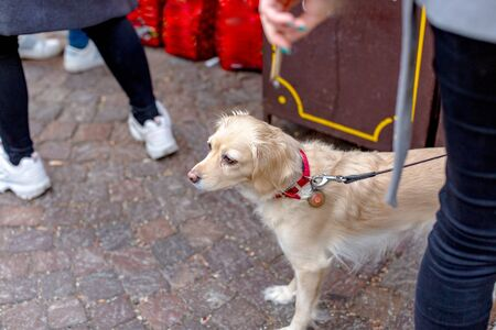 Sad beige dog (Golden Retriever) with big eyes on a leash among people on the street