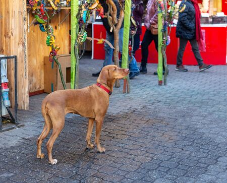 Hungarian Short-haired Pointing Dog (Vizsla) at Christmas market. Lonely dog waiting for someone, looking