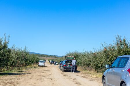 People picking apples in garden. Cars parked between apple trees rows. Man puts apples harvest in car trunk. Harvest Concept. Space for text Standard-Bild