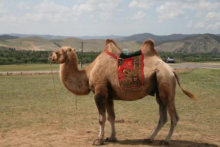 camel standing in the desert