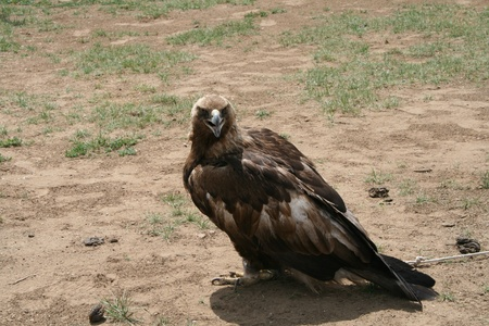 eagle sitting on the ground