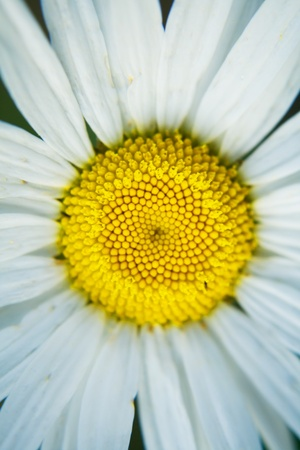 Daisies flower as a symbol of the day of family, love and loyalty to Russia Stock Photo
