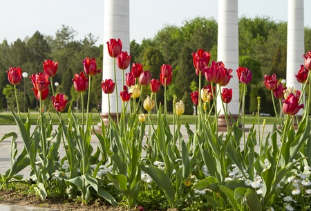 withering: Flowerbed with withering tulips against white columns Stock Photo