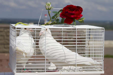 A pair of white doves in a cage, decorated with a red rose photo
