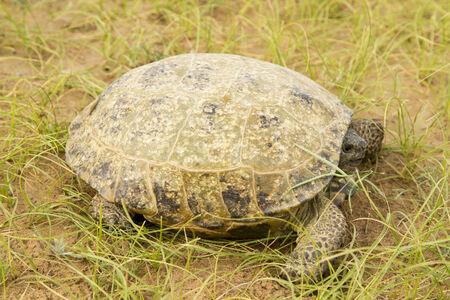 Tortoise in the Kyzyl-Kum desert photo