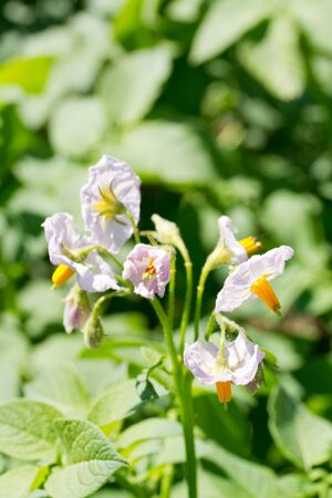 infield: Flowering potatoes in the garden