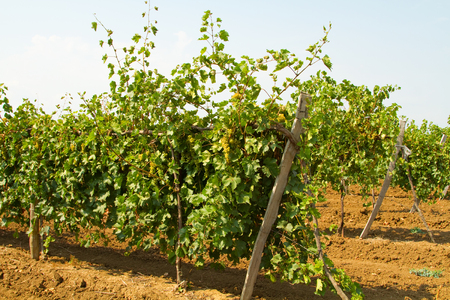 riesling: Rows of grape varieties Riesling Stock Photo