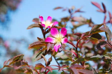 Rosa glauca roodbladige Rose of Redleaf Rose