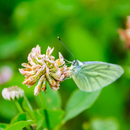 brassicae: butterfly on a clover flower Stock Photo