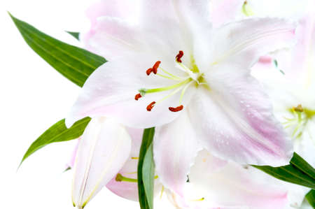 lirio blanco: Blanco y rosa Lily aisladas sobre fondo blanco