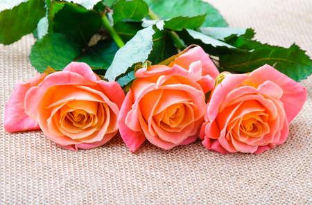 sacking: Three red-orange rose on the sacking