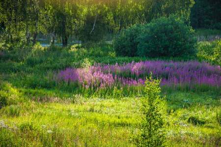 Blooming fireweed in the evening sun on the meadow near the pond Stock Photo