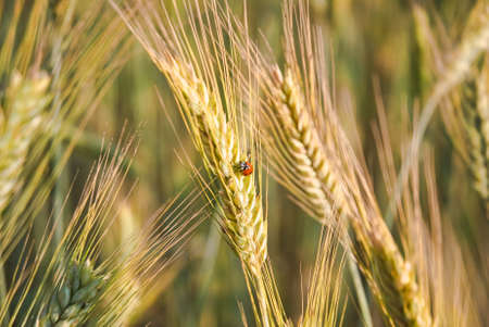 secale: The rye crop (Secale cereale) and ladybug