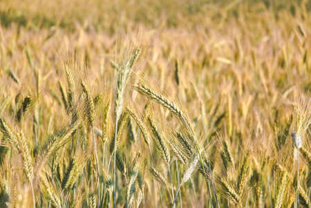secale: The rye crop (Secale cereale)