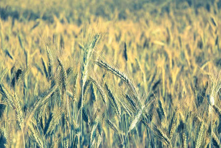 secale: The rye crop (Secale cereale) on the field. Vintage processing style Stock Photo