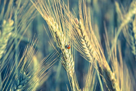 secale: The rye crop (Secale cereale) and the ladybug on the field. Vintage processing style