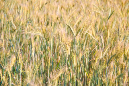 secale: The rye crop (Secale cereale) on the field Stock Photo
