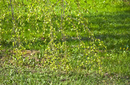 sward: Hanging thin birch branches with young green leaves on fresh grass lawn. Spring
