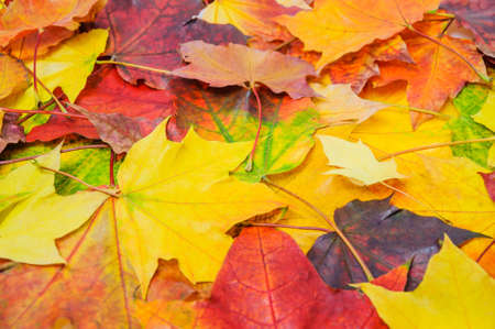 A pile of colorful autumn maple leaves,  background, texture Stock Photo