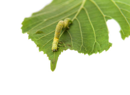 The larva or caterpillar of Geometer winter moth (Operophtera brumata) crawls on green leaf Linden isolated on white background