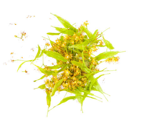 A bunch of freshly picked flowers of lime (Linden) isolated on white background Stock Photo