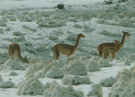 Camelids in El Tatio geothermal field