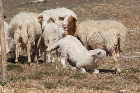 sheep with lamb photo