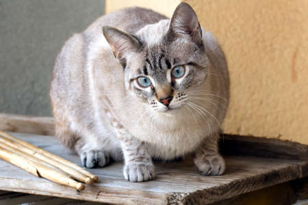 cat with drumsticks Stock Photo