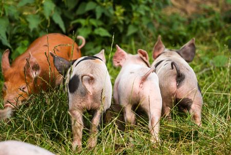 3 little pigs: Three Little Pigs Stock Photo