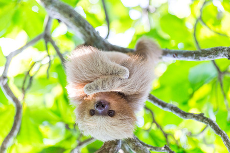 Sloth in Costa Rica Stock Photo - 77626921