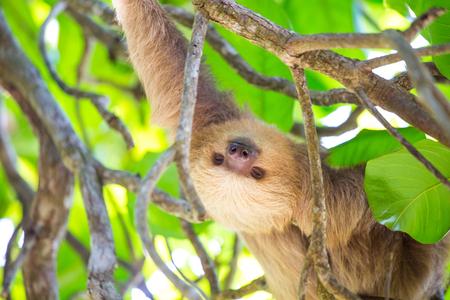Sloth in Costa Rica Stock Photo
