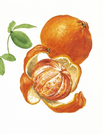 tangerines: Color illustration of flowers in watercolor paintings