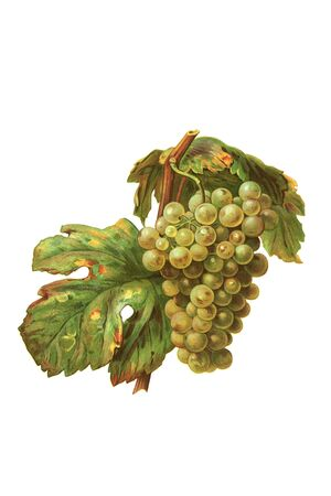 Grapes in white isolated photo