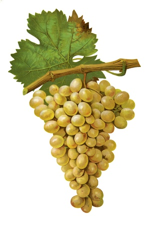 black grape: Grapes in white isolated Stock Photo