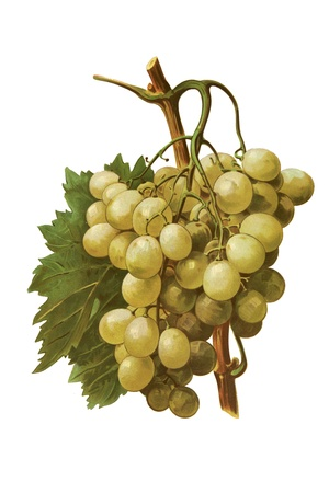 Grapes in white isolated Stock Photo - 16222130