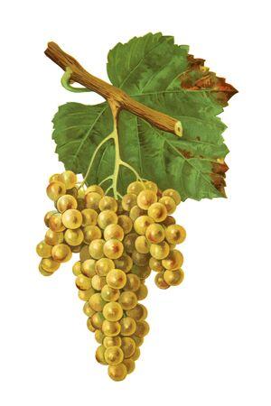 Raisins en blanc isolé