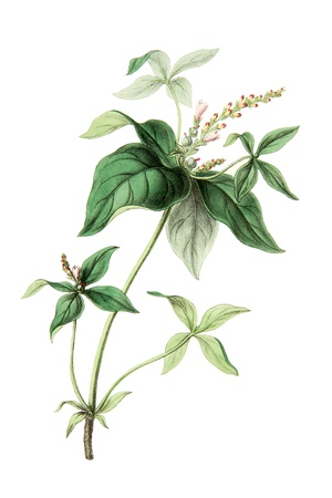 botanical: Color illustration of flowers in watercolor paintings