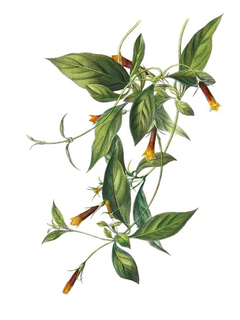 botanical medicine: Color illustration of flowers in watercolor paintings