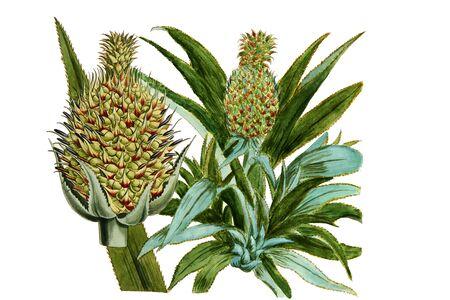 pine apple: pine apple illustration