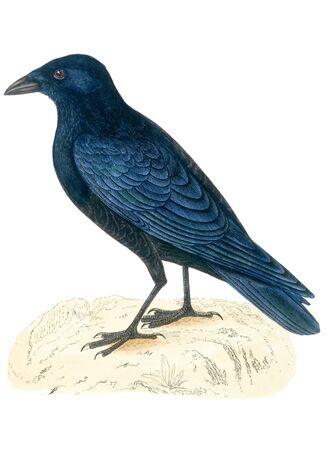 insectivorous: bird old illustration
