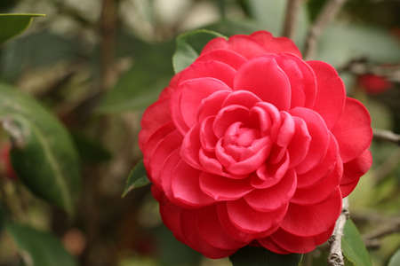 Camellia Stock Photo - 37744923