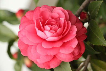 by virtue: Camellia