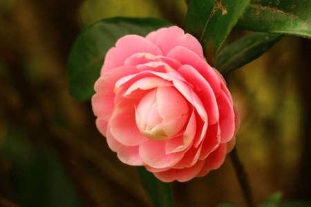Camellia Stock Photo - 37746095